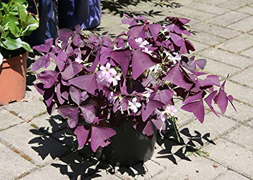 Oxalis triangularis,Jede Blume gefällt...