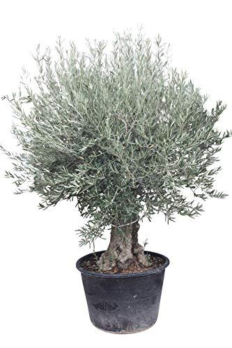 Olivenbaum Olea Europea winterhart, stammumfang 60/80cm, knorriger alte Stamm, Höhe ca.270cm