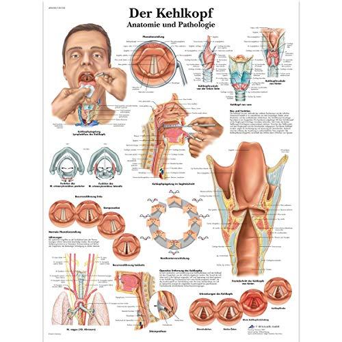 3B Scientific Lehrtafel laminiert - Der Kehlkopf