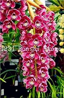 Kasuki Sale! 100 pcs Rare Cymbidium Orchid Plant African Cymbidiums Flores,Phalaenopsis Bonsai Flower plantas for Home Garden Potted - (Color: 13)