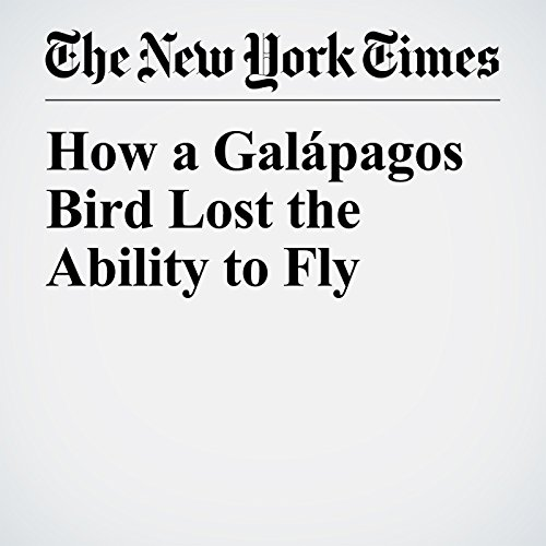 How a Galápagos Bird Lost the Ability to Fly copertina