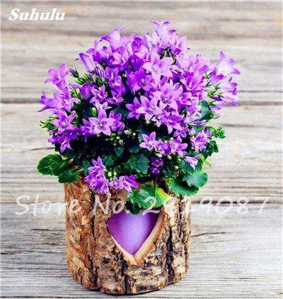 50 Pcs Campanula Graines rares Fleur Plante en pot Couleurs mélangées 95% Taux de bourgeonnement vivaces Plantes Bonsai Maison et Jardin 10