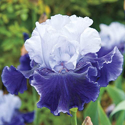 Iriszwiebeln- Indoor Outdoor Stauden Exotische Blumen Hardy Starke VitalitäT Rhizom Romantische Blumen-5 Zwiebeln