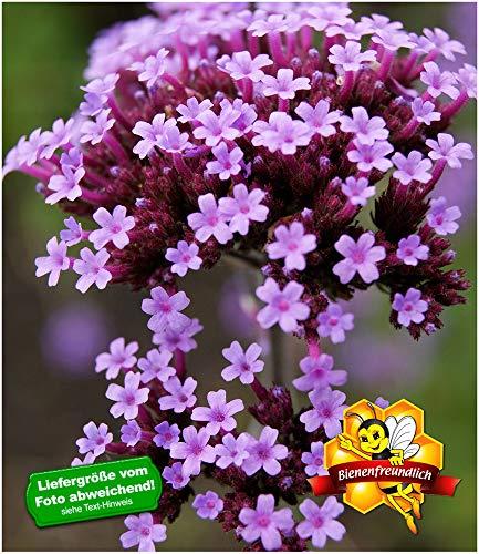 BALDUR-Garten Argentinisches Eisenkraut,3 Pflanzen
