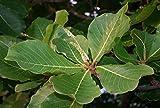 Asklepios-seeds® - 5 Samen Seemandelbaum Terminalia catappa,...