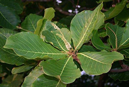 Asklepios-seeds® 50 Samen Seemandelbaum Terminalia catappa, Katappenbaum, Indischer Mandelbau