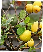 EOV 15 Pcs Seeds Chaenomeles Japonica Japanese Quince - 113RK