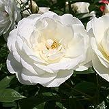 Rose Schneewittchen Strauchrose mit Blüten-Farbe reinweiß - Winterharte Blume mit
