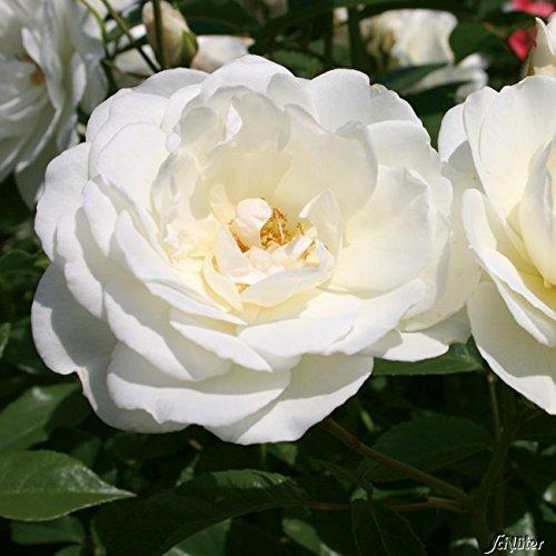 Rose Schneewittchen Strauchrose mit Blüten-Farbe reinweiß - Winterharte Blume mit mittelstarkem Duft - Blütezeit von Juni bis September von Garten Schlüter - Pflanzen in Top Qualität