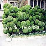 Bloom Green Co. Bonsai 50 piezas de enebro japonÃs Bonsai Starter Tree Juniperus Procumbens Nana Planta en maceta para el hogar y amp; Jardín fácil de cultivar: 12