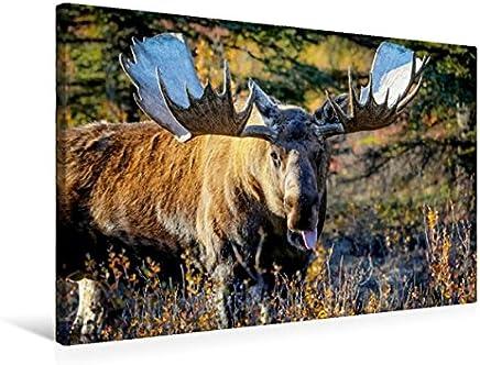 Calvendo Elchbulle in Denali National Park, 75x50 cm