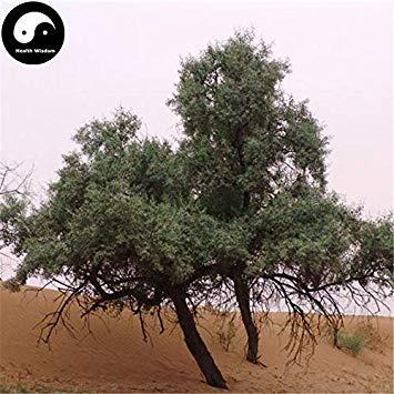 Potseed Keimfutter: 30pcs: Sand Datum Pflanze Wüste Obst Schmalblättrige Ölweide Sha Zao kaufen
