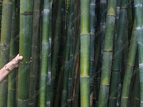 50pcs/sac plantes de bambou bleu, les graines de bambou, graines de bambou Moso, Phyllostachys plante souches nature, bricolage pour la maison et le jardin kaki foncé