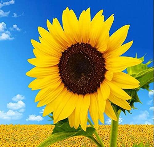 Semillas para Germinar Brotes,Planta fácil de Vivir Full Star Sun Flower Seed-N_400pcs,Perennes Semillas De Flores