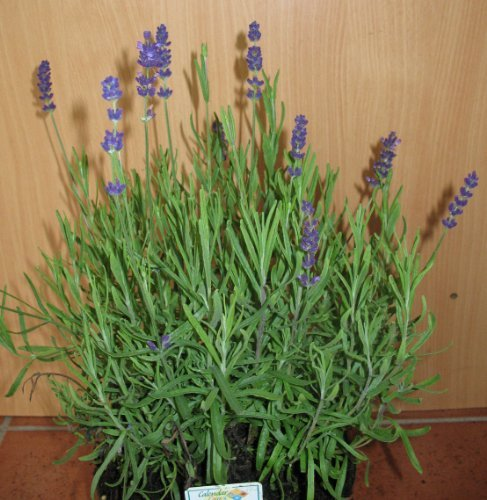 lilablau blühender Lavendel Hidcote Blue im Topf