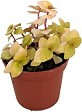 Copper Jewel Vine - Turtle Vine - Inch Plant - Callisia - House Plant - 2.5