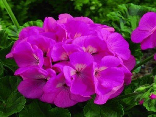 15 Film Coated Géranium Maverick Pink Geranium Seeds