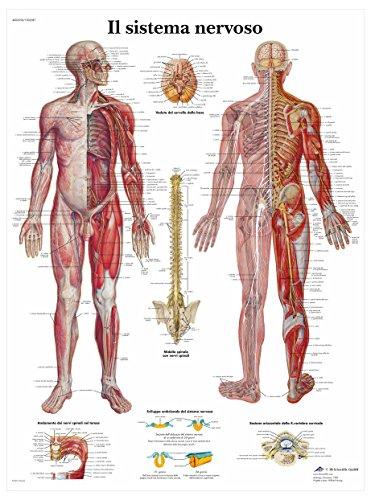 3B Scientific VR4620L il Sistema Nervoso