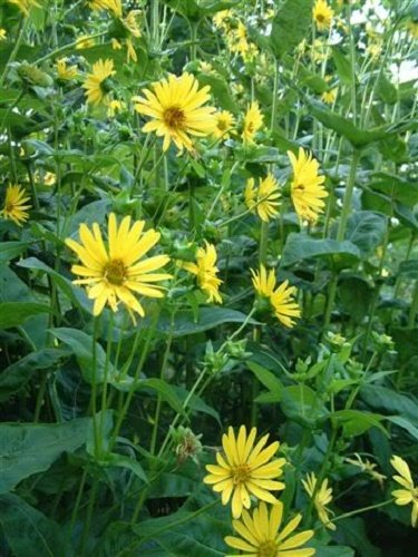 "10 Yellow COMPASS PLANT Silphium Laciniatum Prairie Compassplant 4"" Flower Seeds"