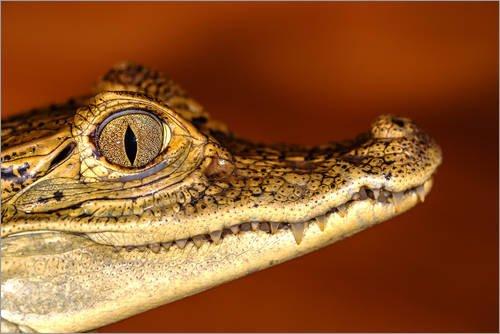 Posterlounge Leinwandbild 90 x 60 cm: Kopf eines Krokodils von Editors Choice - fertiges Wandbild, Bild auf Keilrahmen, Fertigbild auf echter Leinwand, Leinwanddruck