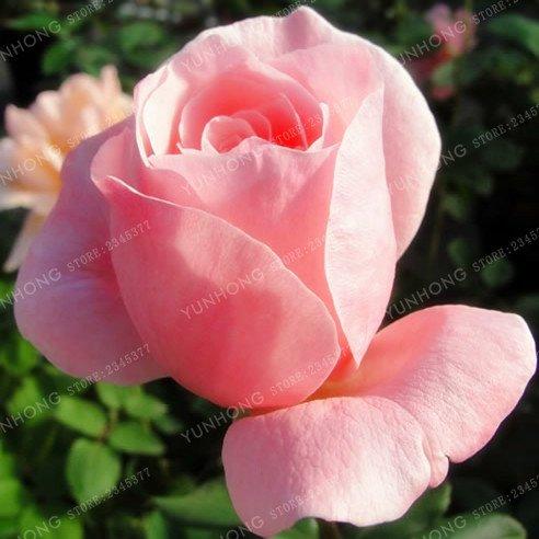 50 Pcs/Sac rares Graines Rose 24 couleurs au choix Belles graines de fleurs vivaces Balcon Jardin en pot Plante bricolage jardin 20
