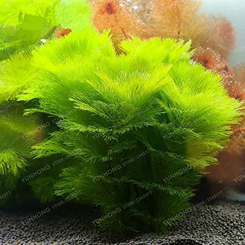 Aquarium SVI frais herbe graines des plantes pour la plantation vert lime