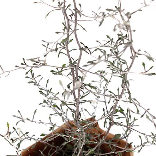 BOTANICLY | Gartenpflanze | Corokia Cotoneaster | 30 cm | Set aus 2 Pflanzen - 5