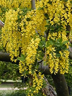Golden Chain Tree 62 Seeds Hardy Beautiful Cascading Yellow Flowers, Small Tree Mgg003