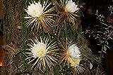5 Semillas de Selenicereus Grandiflorus epifita Cactus