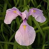 Rosa Wasserschwertlilie / Iris laevigata Rose Queen im 9x9 cm Topf - Klärpflanze Gartenteich