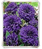 ダリア球根&庭の花壇には大きな紫色の花が植えられ、花びらは美しく配置されています,25球根