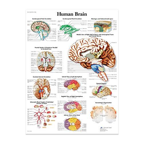 Vxhohdoxs Anatomische Illustration des menschlichen Gehirns Poster, Leinwand. Geeignet zum Unterrichten a