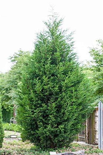 Cupressocyparis leylandii Leyland-Zypresse im Topf gewachsen ca. 60cm