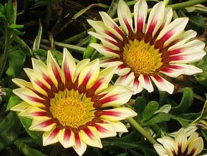 graines 180PC Fleur Gazania rigens, graines de fleurs bonsaï de gazania, tournesols Afrique, 9 variétés de semences de chrysanthème