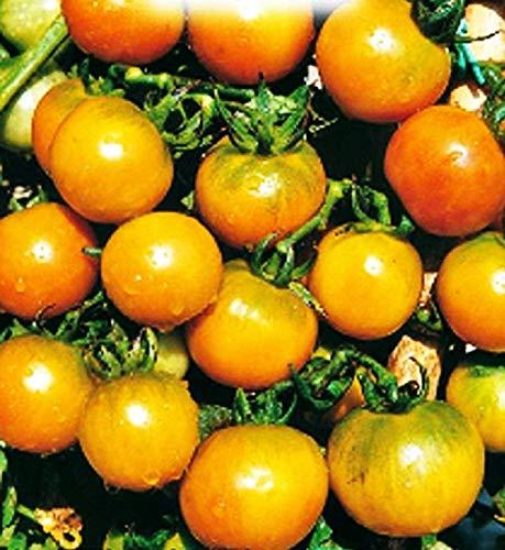 Sel ponderosa graines de tomates - fruits - or - tomates lourdes - lycopersicum esculenthum - les meilleures graines de plantes - fleurs légumes - rares - 700 graines environ - excellente qualité