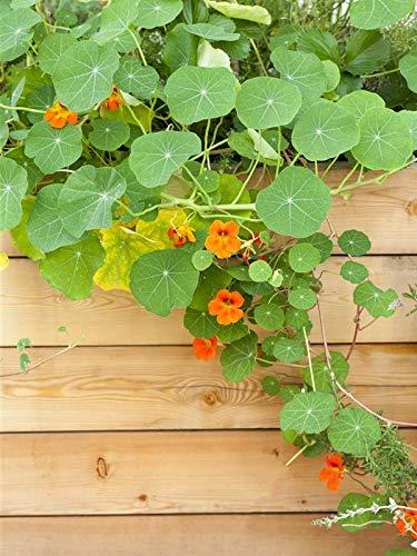 Keland Garten - 50pcs Rarität Kleine Kapuzinerkresse als Bienenweide, Blumensamen Mischung winterhart mehrjährig für den Balkon