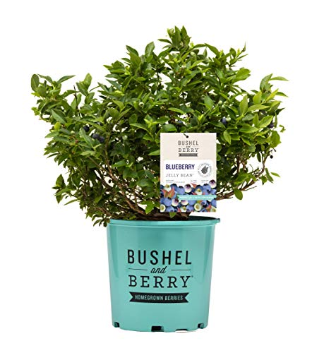 Bushel and Berry - Vaccinium x Jelly Bean (Blueberry) Edible-Shrub, , #2 - Size Container
