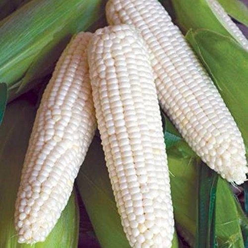 10 Pcs/Sac blanc de maïs Graines forte Adaptabilité de The Happy Farm Grain Graine sain et délicieux doux naturels maïs de semence