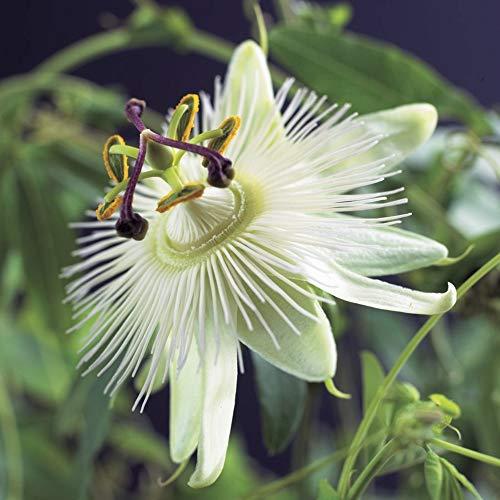 Passiflora caerulea'Constance Elliot'  ...