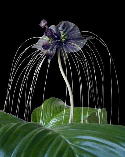 Seedeo® Anzuchtset Fledermausblume (Tacca chantrieri)