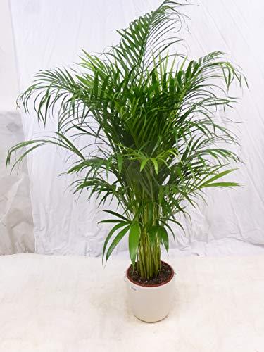 [Palmenlager] Goldfruchtpalme 150 cm - Areca Palme - // Zimmerpflanze Zimmerpalme //