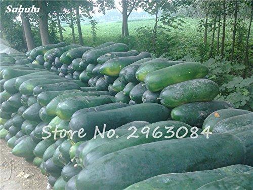 Big Wax Gourd Seed Bon pour la cuisine, Zaden Groenten Biologisch Bonsai Pots Plante La Germination Taux 95% 10 Pcs/Sac