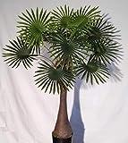 Agave Art's Palma di Canapa 120 cm. con Fibre di Cocco, Trachycarpus Fortunei Palm, Palma Artificiale