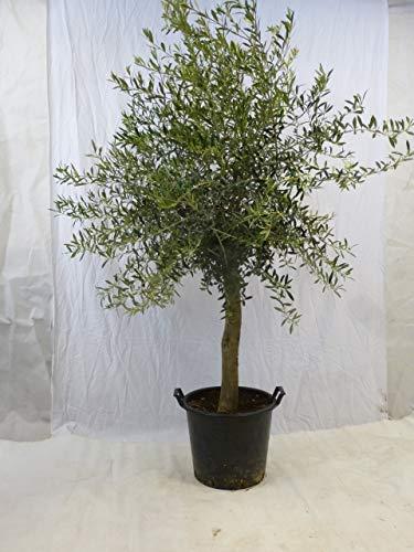 [Palmenlager] - Olivenbaum Olea europea - 180/200 cm - dicker Stamm 15/20 cm Umfang - Pot 25 ltr.