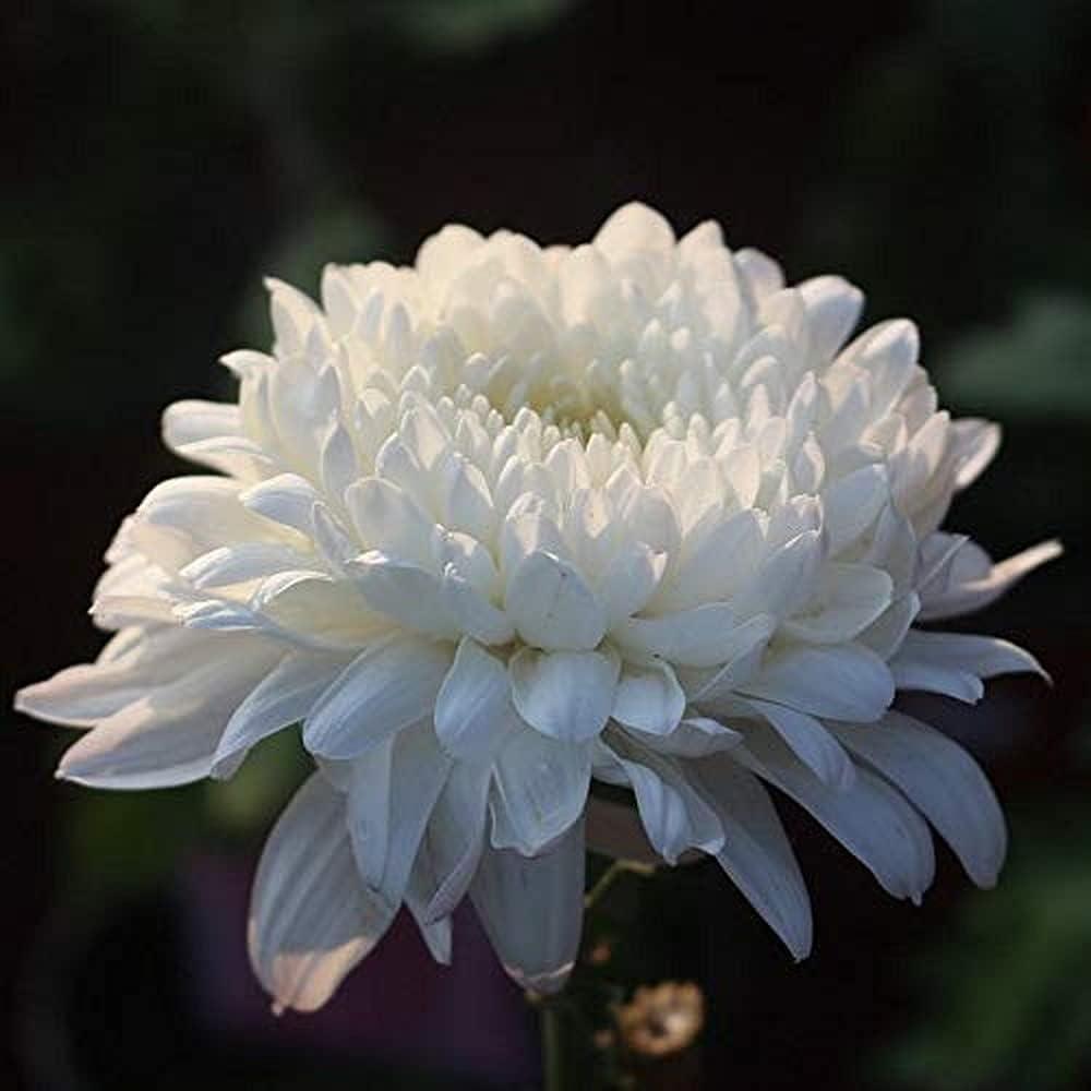 200 piezas de semillas de crisantemo blanco crecimiento de crisantemo semillas de flores en miniatura decoración de jardín