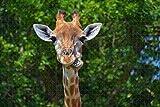 Rompecabezas para adultos USA America Toledo Zoo jirafa Puzzle de madera de viaje, 1000 piezas 75 × 50 cm