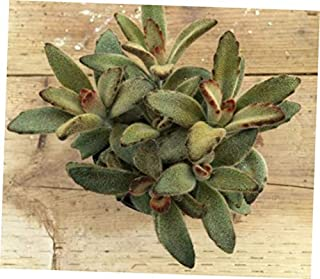TEE 1 Bare Root Medium Succulent Plant. Kalanchoe Chocolate Soldier - RK59