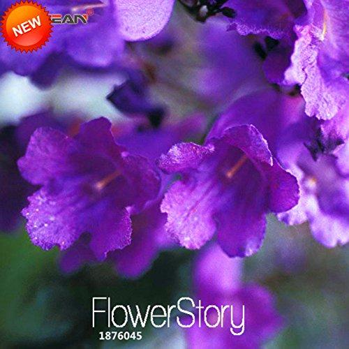 Graines Big Promotion Arbre! Fleur 20Seeds / Sac bleu pourpre flamboyant bleu Arbre Arbuste Seeds, # 10X2SE