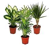 Pack plantas de interior, 3 unidades, 1x Dieffenbachia, 1x Chamaedorea (Mountain Palm) 1x Dracena Marginata (Dragon Tree), Maceta