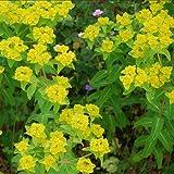 Plant World Seeds - Euphorbia Oblongata Seeds